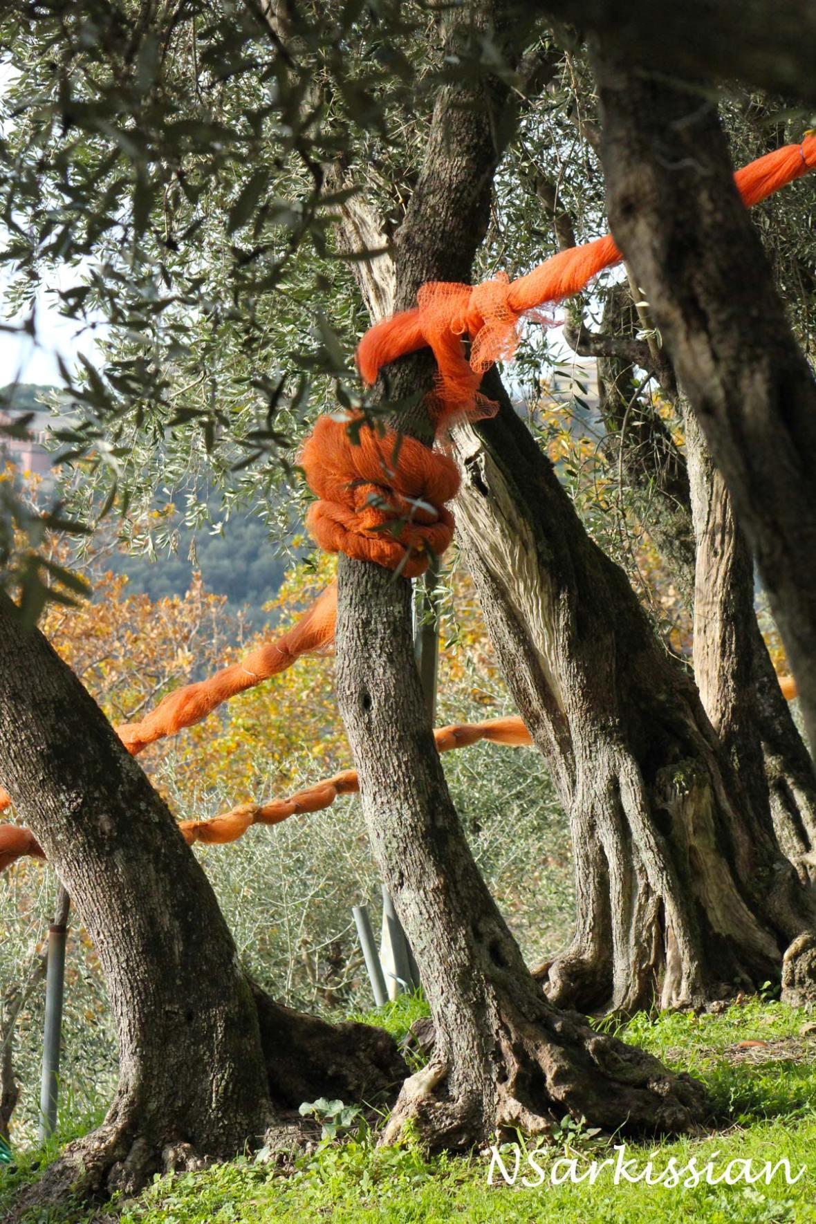 olivegrove1